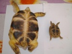 4 years old ranched tortoises. At the left - R. On the rigt - W.